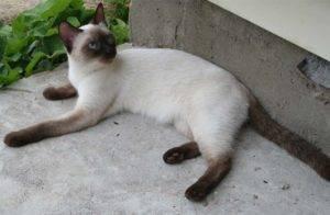 Тайский кот характеристика породы
