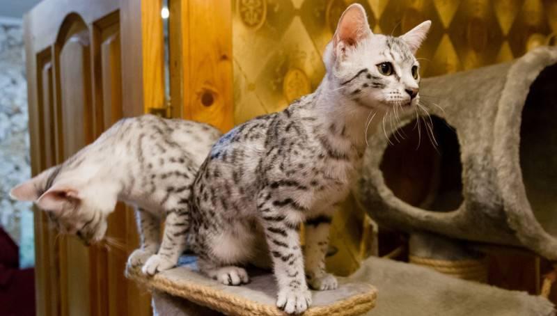 Породы кошек маленьких размеров