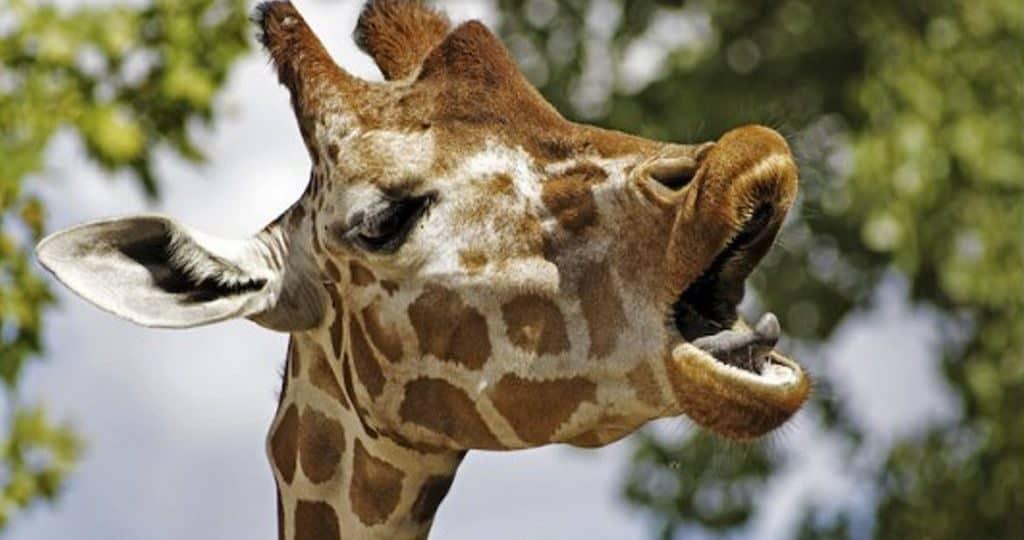 Какого цвета язык у жирафа