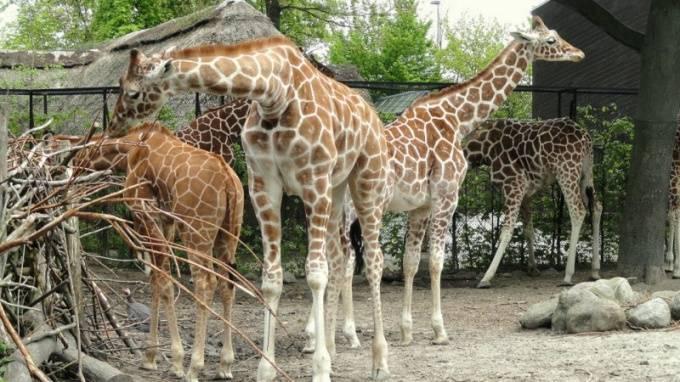 Какова длина языка взрослого жирафа