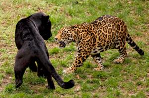 Леопард и пантера отличия