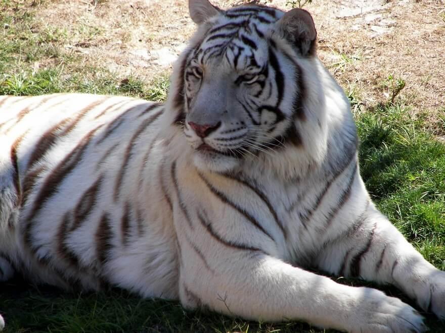 Сколько видов тигров существует на земле