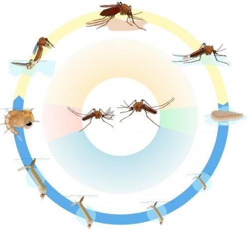 Продолжительность жизни комара составляет