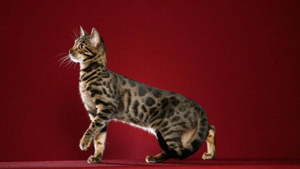 Кот похожий на леопарда порода