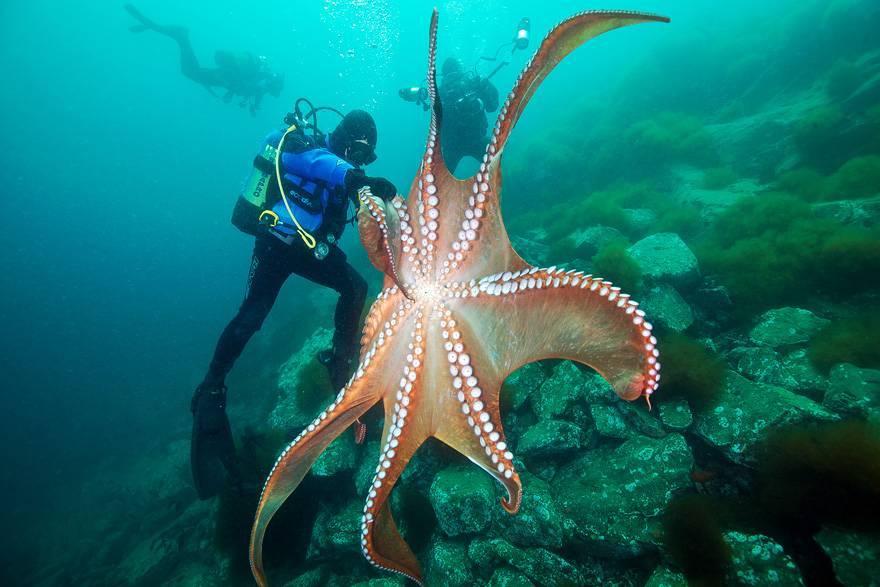 Интересные факты о осьминогах