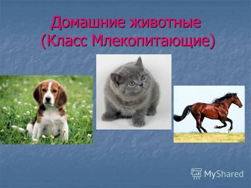 Млекопитающие домашние животные примеры