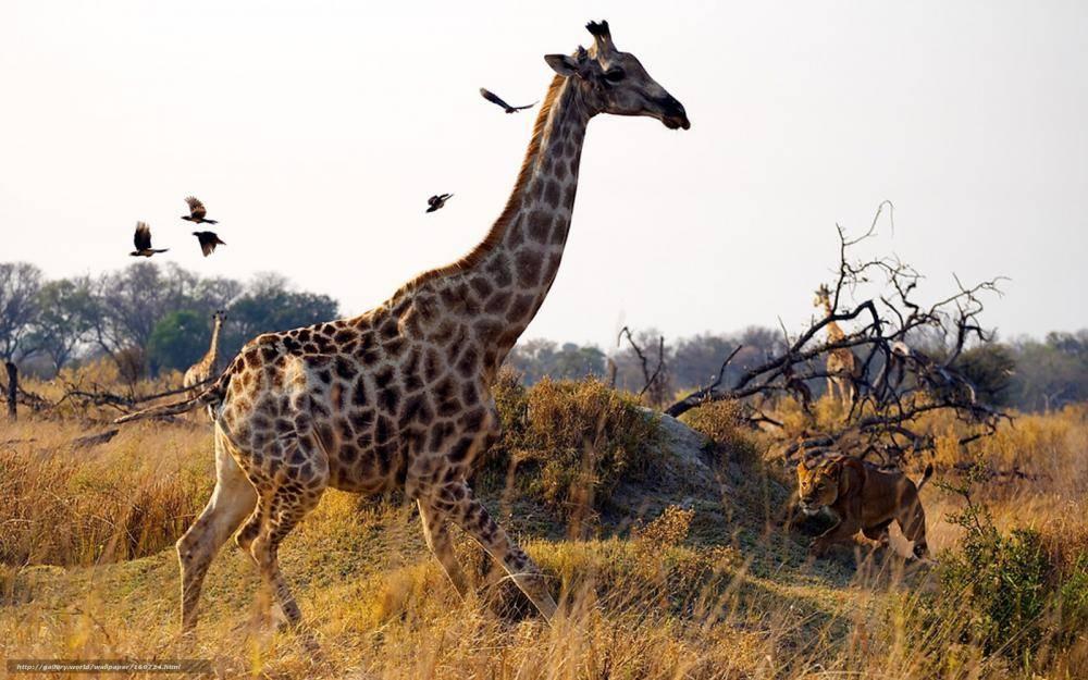 Интересные факты о жирафах для детей