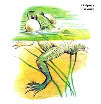 Лягушка это земноводное
