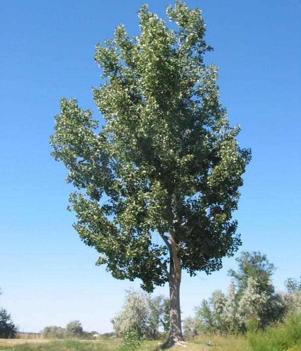 Лиственные деревья средней полосы
