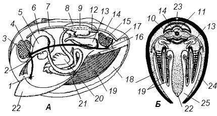 Органы двустворчатых моллюсков