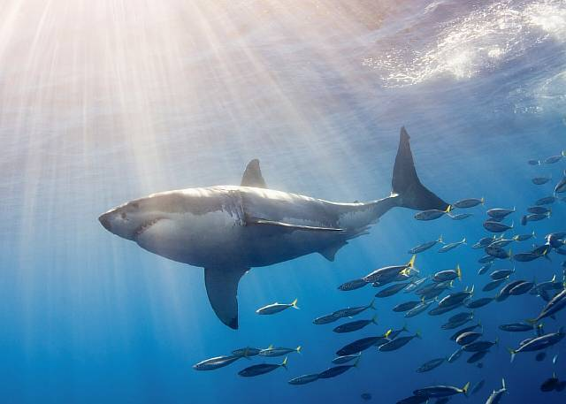 Original caption: The great white shark (Carcharodon cacharias) is the most famous of all sharks and has been implicated in many attacks on man. Guadalupe Island, Mexico --- Image by © Norbert Wu/Science Faction/Corbis