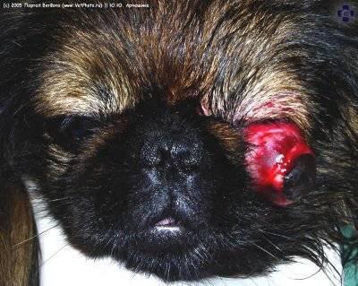 шицу собака фото с выпавшими глазами