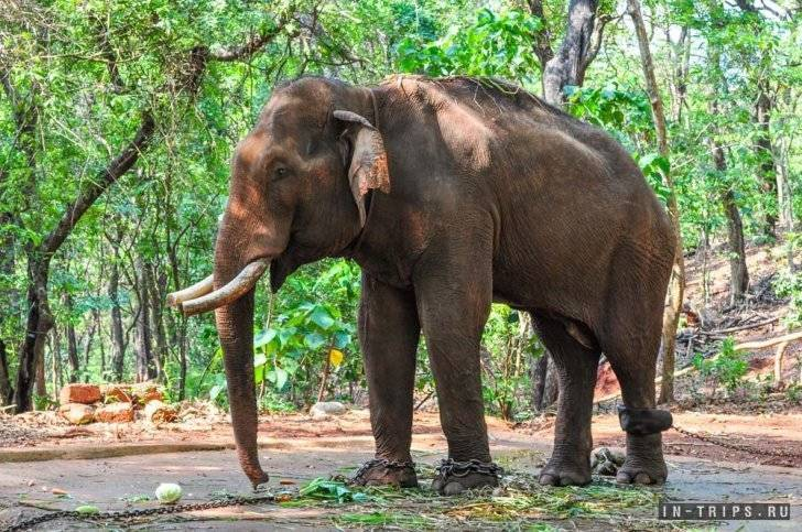 Где обитают слоны в каких странах