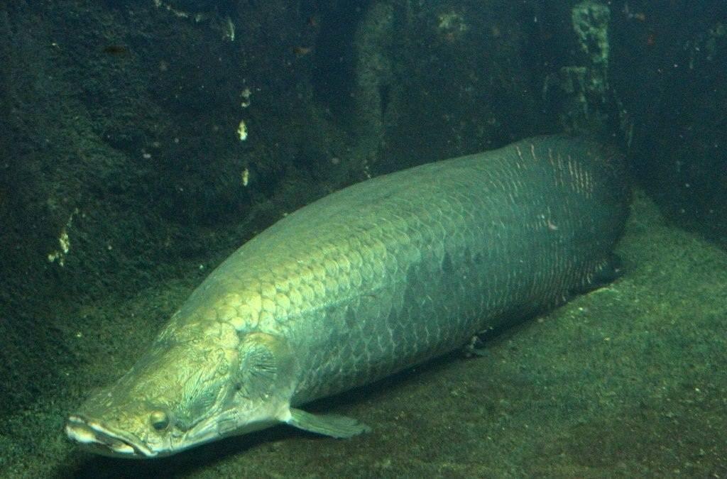 Какие рыбы водятся в амазонке