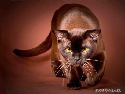 Самые красивые породы кошек в мире фото