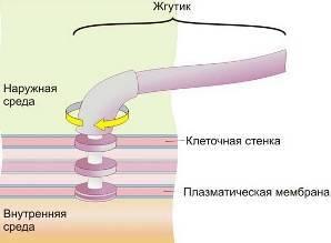 Состоит из двух центриолей