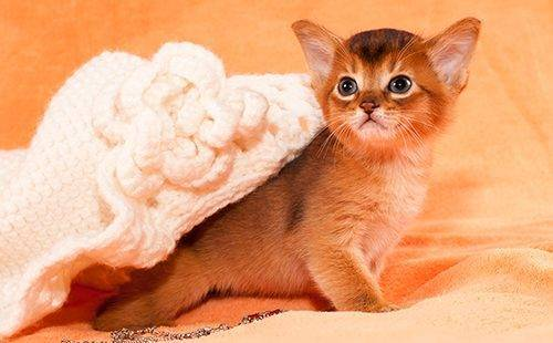 Абиссинская кошка характеристика породы