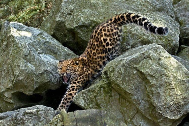Лапа леопарда