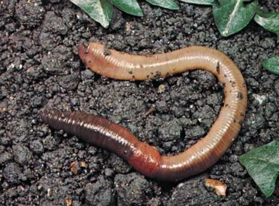 Малощетинковые черви фото
