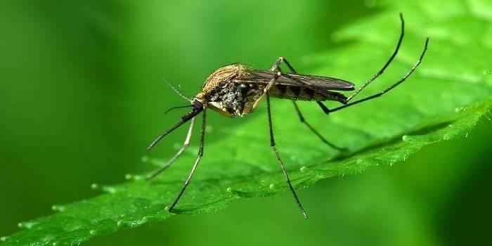 Сколько живут комары в квартире