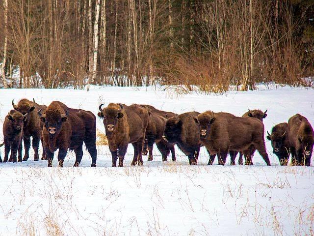 Сколько весит бизон