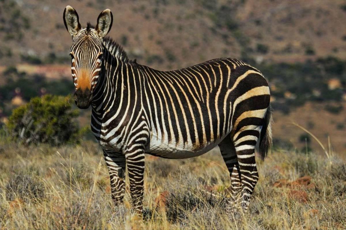 Окрас зебры