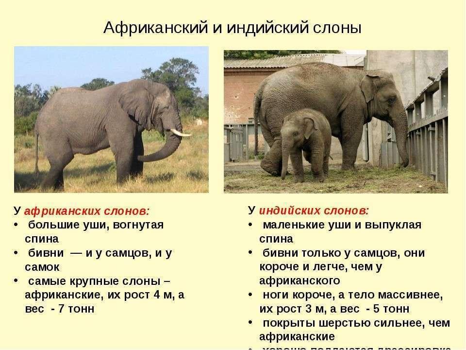 Сколько в среднем весит слон