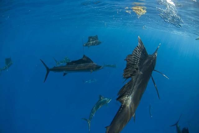 Самое быстрое морское животное