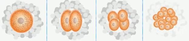 Образование половых клеток и оплодотворение