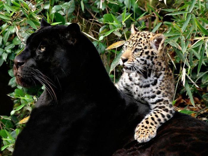 Черная дикая кошка как называется