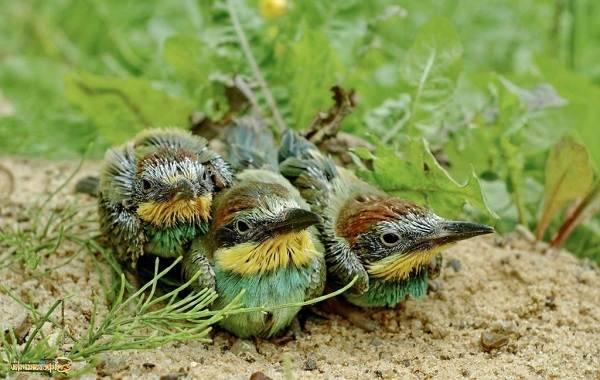 Щурка птица фото