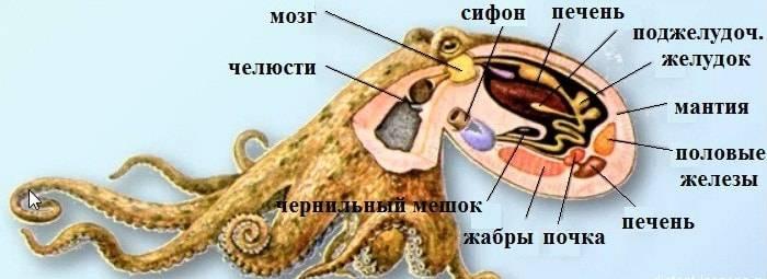 Органы моллюска схема