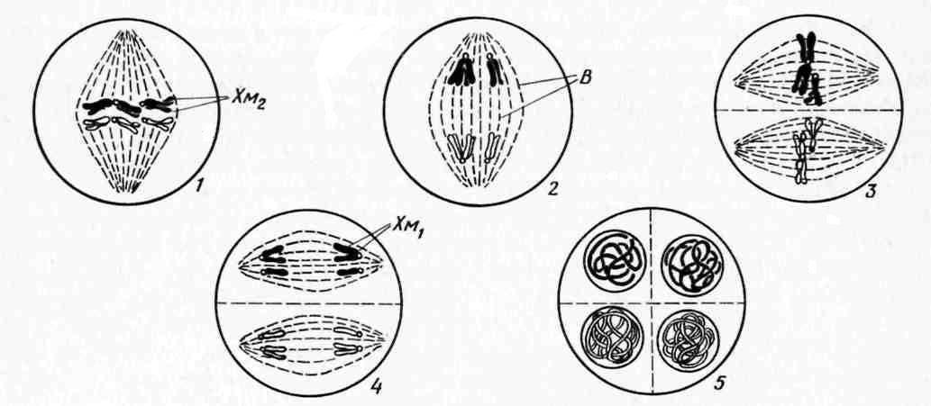 Только в растительных клетках содержатся