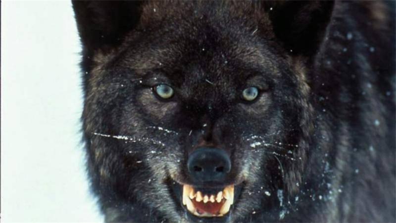 Коричневый волк
