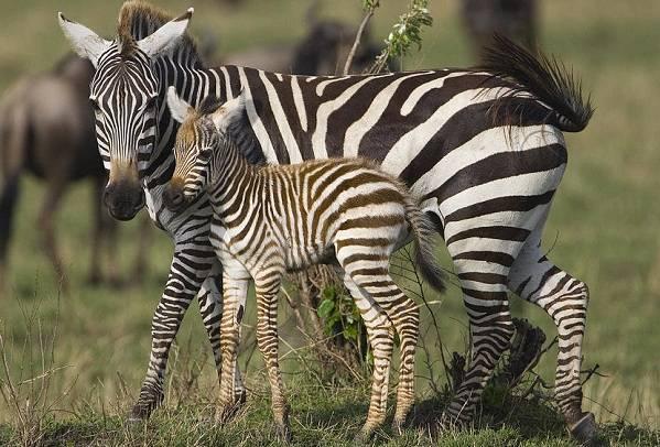 Где водятся зебры