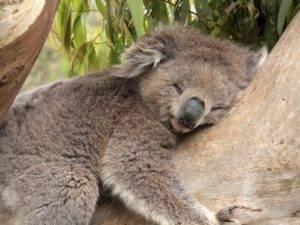 Сколько спит коала