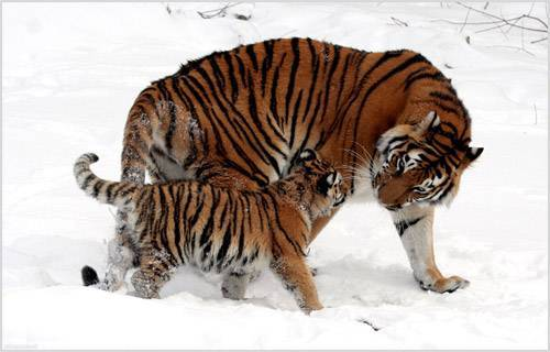 Сибирский тигр фото