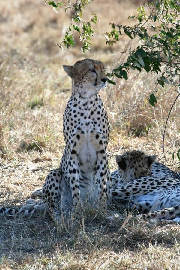Какая максимальная скорость гепарда