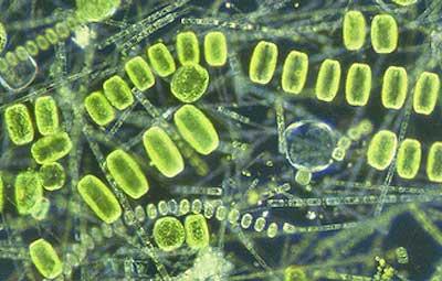 Кто питается фитопланктоном