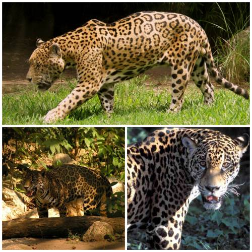 Ягуар фото животного