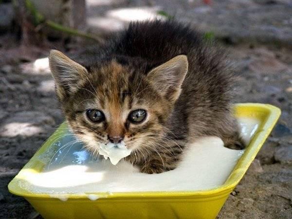 Любимая еда кошек