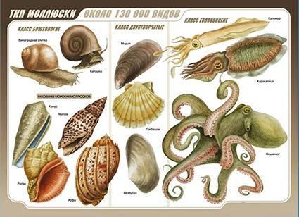 К какому классу относятся моллюски