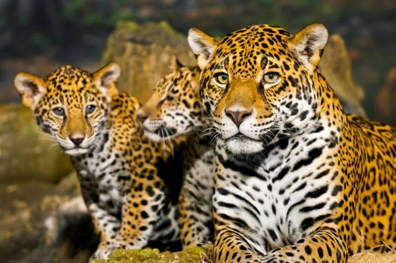 Максимальная скорость леопарда