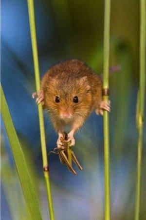 Что едят мыши полевки