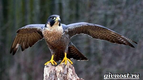 Хищные птицы тундры