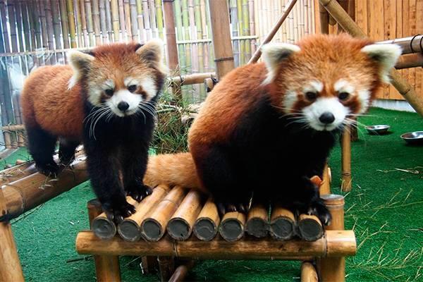Хвост панды