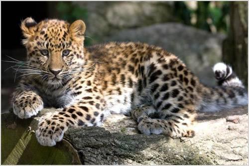 Леопард в россии где обитает