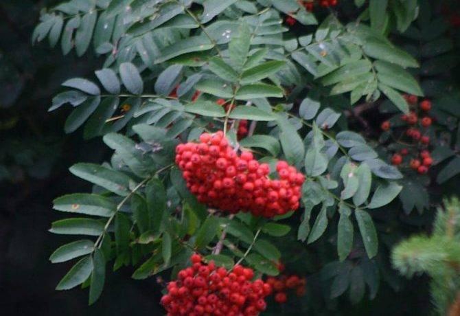 Какого цвета листья рябины осенью