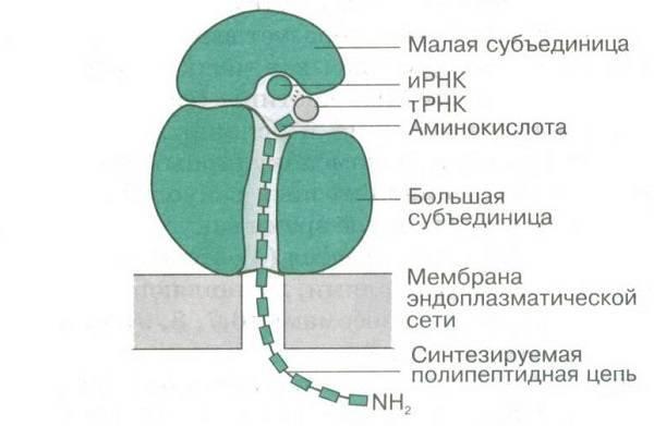 Сколько субъединиц входит в состав рибосомы