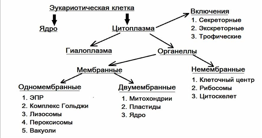 Классификация органоидов клетки